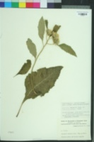 Image of Baccharoides adoensis