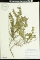 Andrachne phyllanthoides image