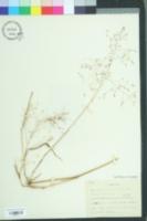 Image of Panicum bisulcatum