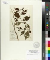 Styrax japonicus image