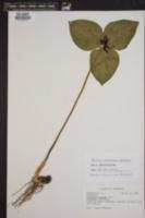 Trillium stamineum image