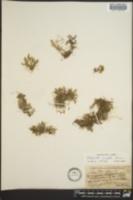 Selaginella wrightii image
