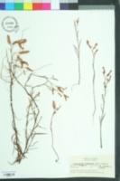 Polygonella fimbriata image
