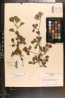 Image of Crataegus anisophylla