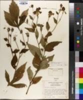 Rudbeckia laciniata var. humilis image