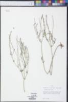 Verbena halei image