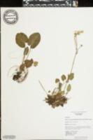 Packera serpenticola image
