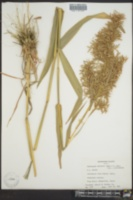 Image of Cymbopogon martinii