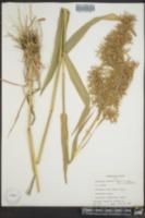 Image of Cymbopogon martinii