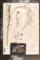 Symphyotrichum grandiflorum image