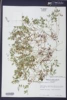 Phacelia ranunculacea image