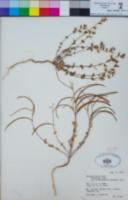Streptanthus tortuosus var. orbiculatus image