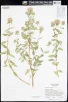 Monardella sheltonii image