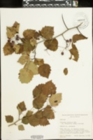 Image of Crataegus roanensis