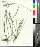 Image of Symphyotrichum plumosum