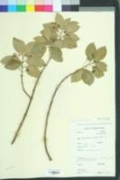 Image of Euonymus patens
