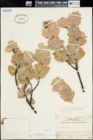 Arctostaphylos glutinosa image