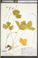 Fragaria ananassa image
