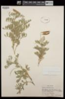 Lathyrus brachycalyx image