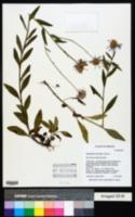 Erigeron aliceae image