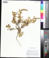 Ambrosia chenopodiifolia image