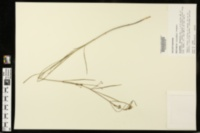 Image of Asclepias viridula