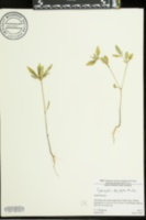 Euphorbia dentata image