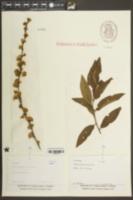 Prunus glandulosa image