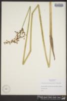 Schoenoplectus tabernaemontani image