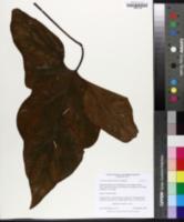 Image of Cercestis mirabilis