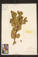 Arctostaphylos parryana image