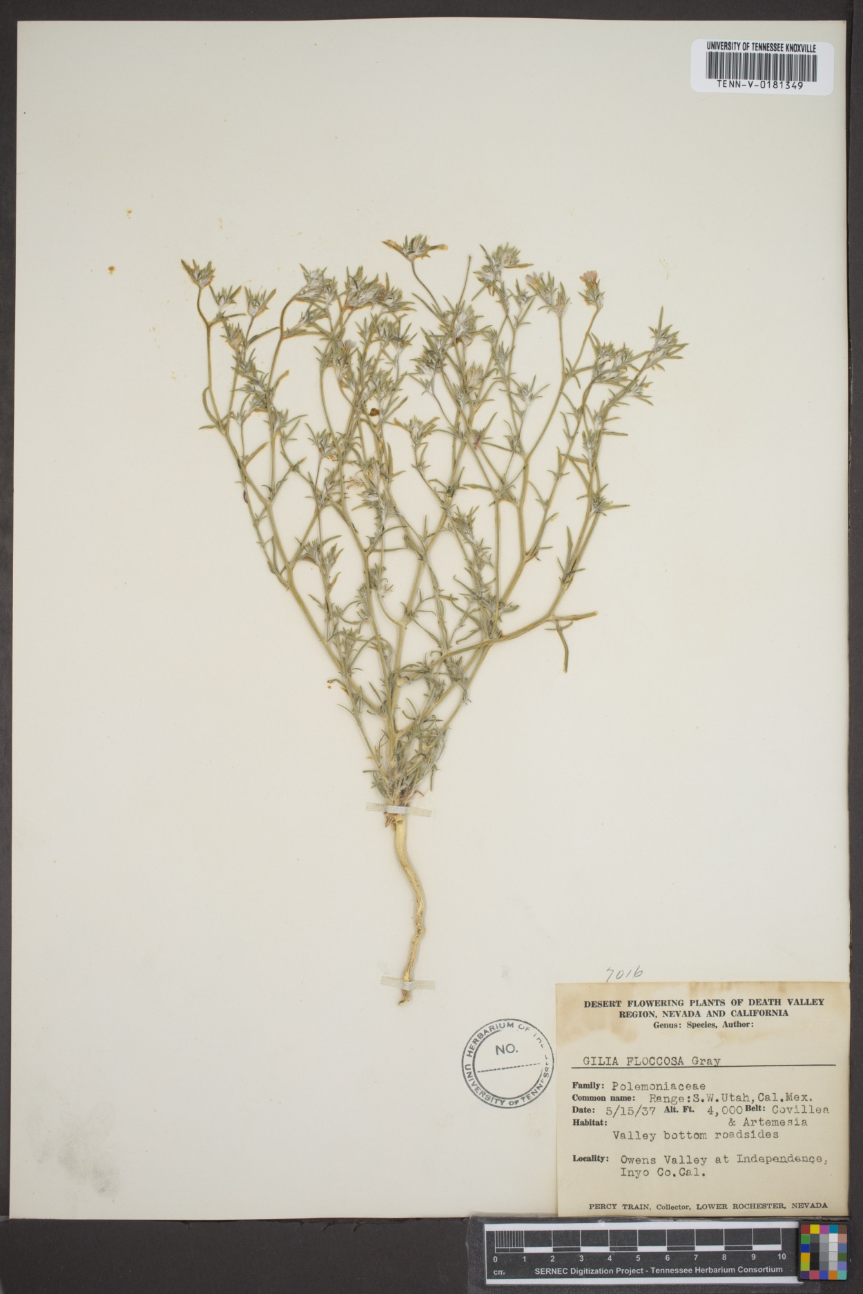 Gilia floccosa image