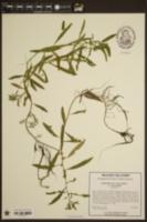 Proserpinaca palustris var. palustris image