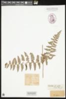 Image of Hypolepis tenuifolia