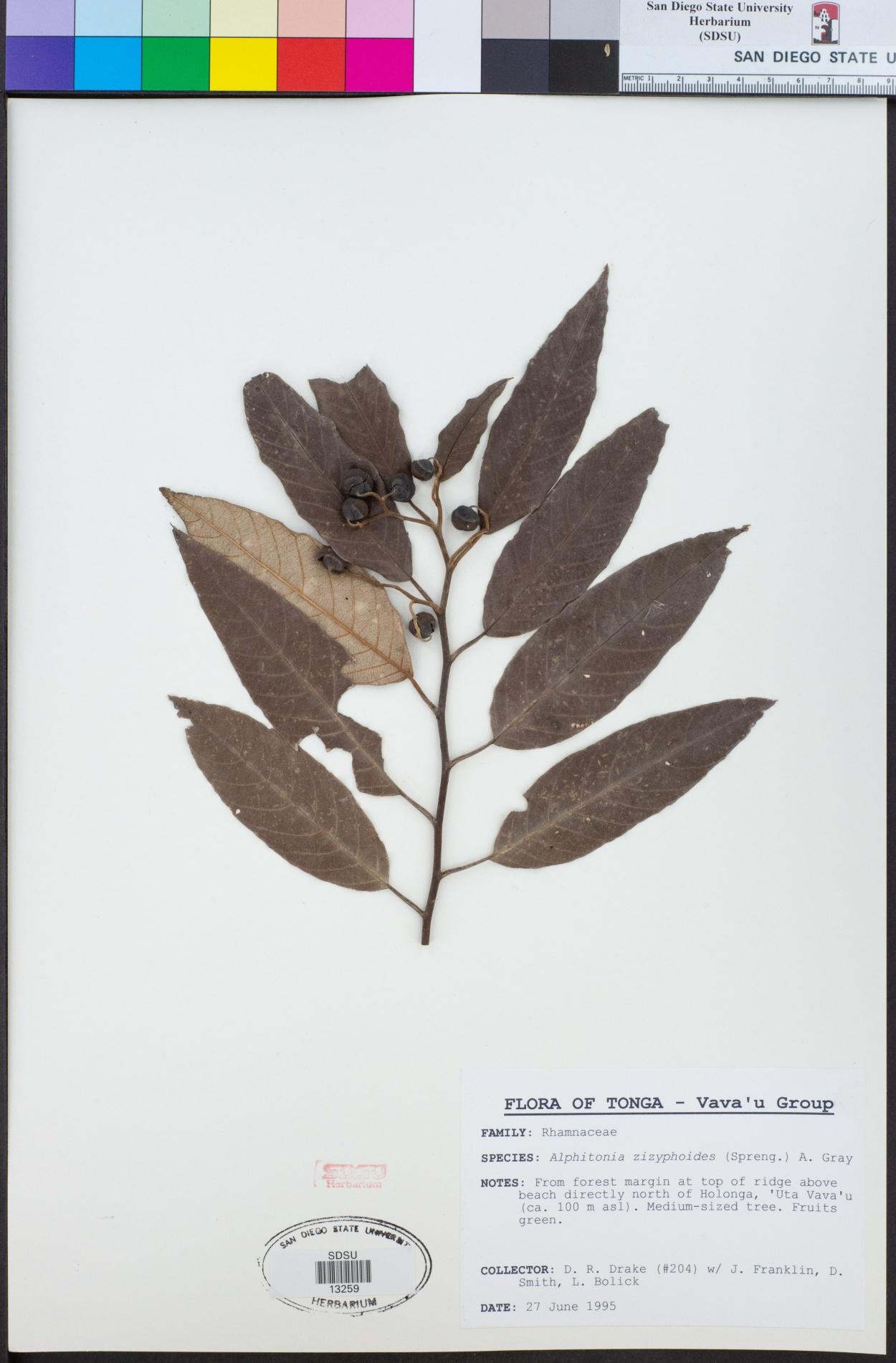 Alphitonia zizyphoides image