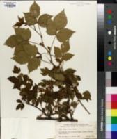 Rubus pronus image