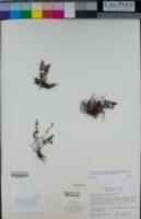 Argyrochosma jonesii image