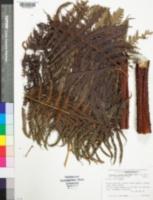 Image of Cyathea contaminans
