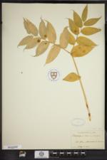 Streptopus lanceolatus image