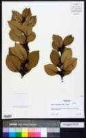 Image of Laurus canariensis