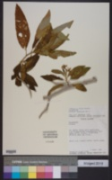 Image of Solanum racemosum