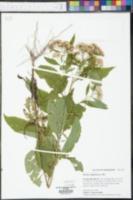 Pluchea camphorata image