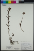 Castilleja subinclusa subsp. franciscana image
