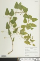 Image of Smilax pseudo-china