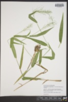Dichanthelium polyanthes image