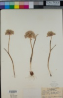 Image of Allium howellii