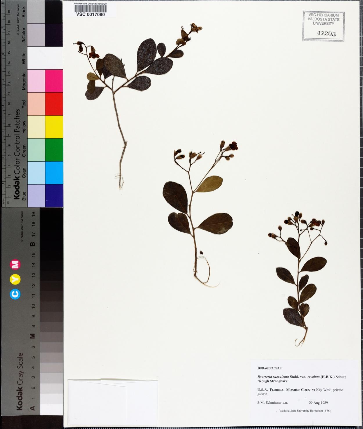 Bourreria radula image