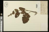 Image of Salvia verbenaca