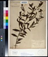 Image of Heliotropium amplexicaule