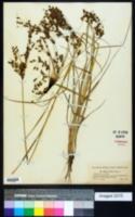 Image of Scirpus longii